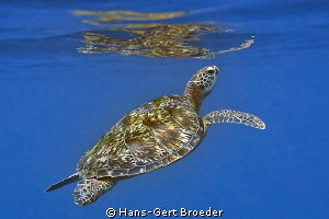 Green Turtle